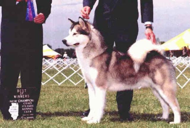 American/Canadian Champion Windchaser's  Legend of Shadowolf WPD, WWPD
