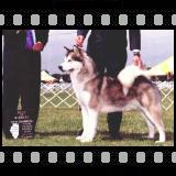American/Canadian Champion Windchaser's  Legend of Shadowolf WPD, WWPD [Click for larger image]